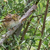 Henslow's Sparrow, a much hoped-for species, by guide Doug Gochfeld