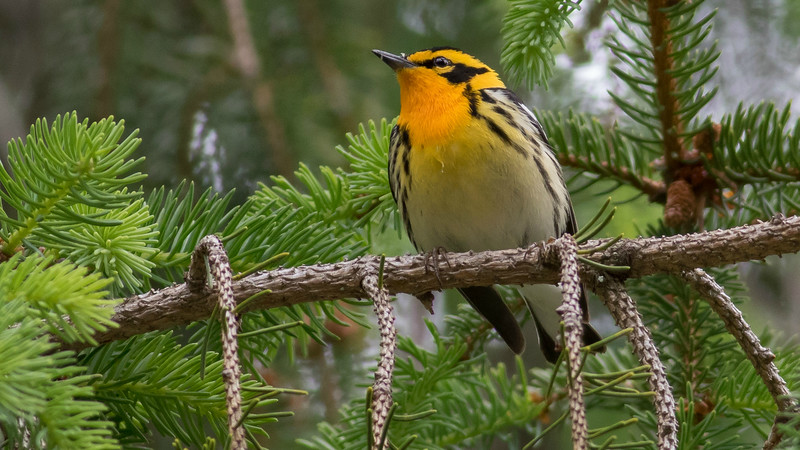 Blackburnian Warbler, by guide Tom Johnson