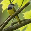 Mourning Warbler,  by guide Tom Johnson