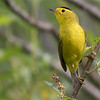 Wilson's Warbler,  by guide Tom Johnson