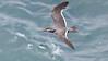 Inca Tern (Photo by guide Jesse Fagan)
