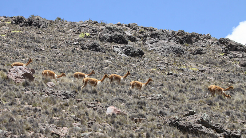 Vicuñas on the altiplano, photographed by guide Jesse Fagan.