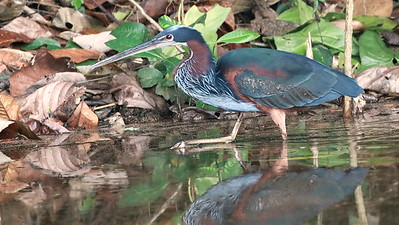 An Agami Heron at Tres Chimbadas, by guide Dave Stejskal