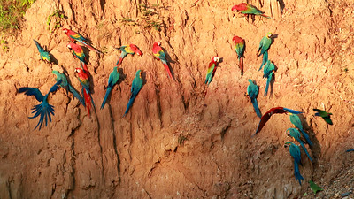 Large macaws gathering at the clay lick, by guide Dave Stejskal