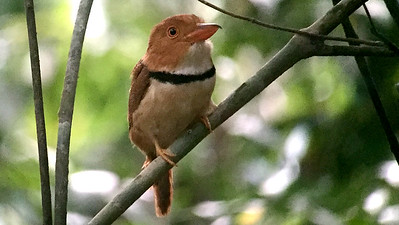 A boldly patterned Collared Puffbird, by guide Dave Stejskal
