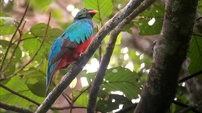The not-so-often-seen Pavonine Quetzal, by guide Dave Stejskal