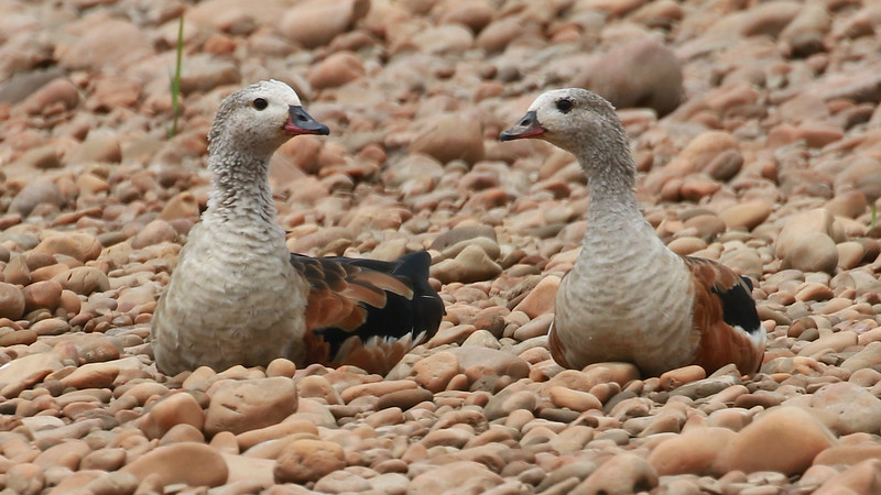 A pair of Orinoco Geese keeping a watchful eye, by guide Dave Stejskal