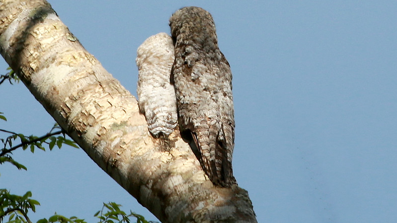 Adult Great Potoo with its pale chick at Infierno, by guide Dave Stejskal