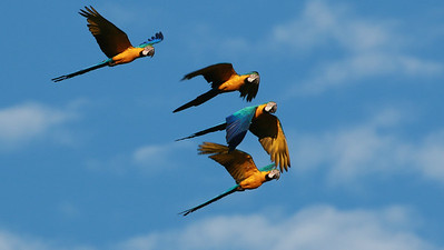 Blue-and-yellow Macaws on the move, by guide Dave Stejskal
