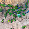 A melee of parrots and macaws at the clay lick, by guide Dave Stejskal