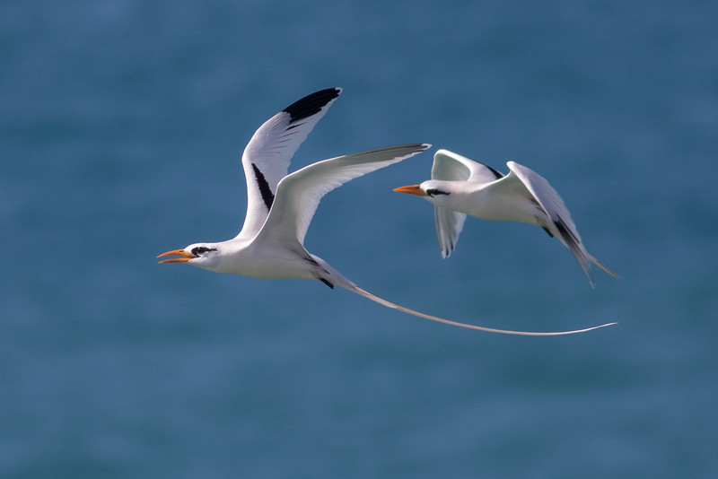 White-tailed Tropicbirds by guide Tom Johnson