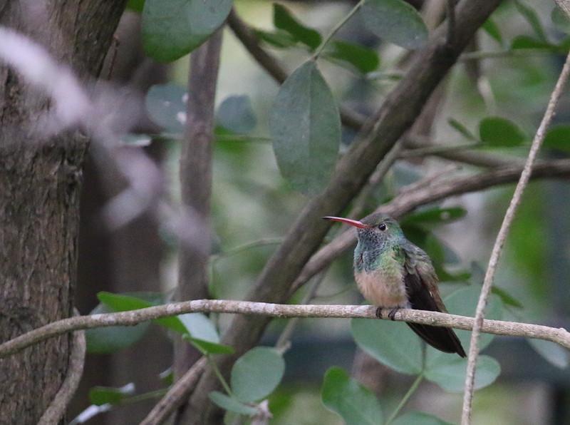 Buff-bellied Hummingbird rgr16a Kyle Sandersen
