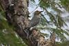 Golden-fronted Woodpecker rgr16b Chris Benesh