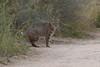 Bobcat rgr16b Chris Benesh