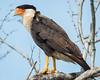 Crested Caracara Laguna Atascosa rgr16b Herb Fechter
