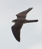 Aplomado Falcon rgr16b Herb Fechter
