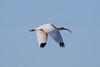 White Ibis rgr16a Chris Benesh