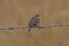 Grasshopper Sparrow rgr16a Chris Benesh