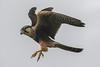 Aplomado Falcon rgr16b Chris Benesh