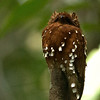 The striking Rufous Potoo at Ducke Reserve by participant Peggy Keller
