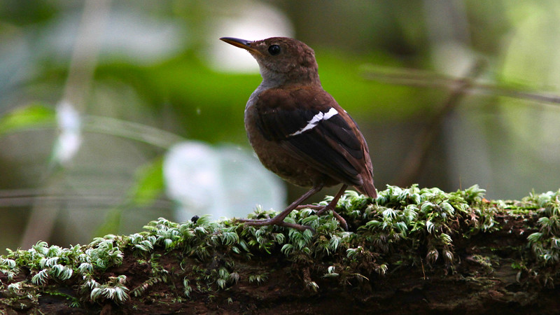 The hard-to-see Wing-banded Wren, by guide Marcelo Padua.