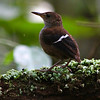 The hard-to-see Wing-banded Wren by guide Marcelo Padua