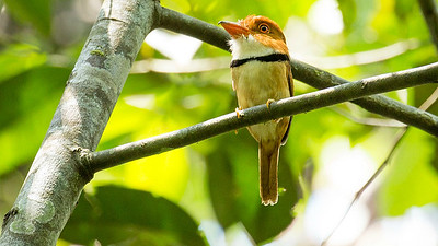 Collared Puffbird, by participant Peggy Keller.
