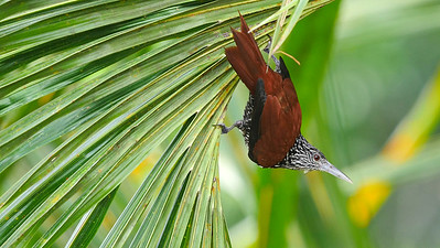 Point-tailed Palmcreeper, by guide Bret Whitney