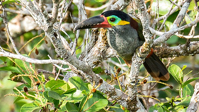 A female Guianan Toucanet at the INPA tower, by participant Peggy Keller.