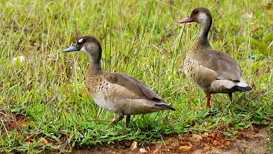 A Brazilian Teal pair (female at left) in the Pantanal, by participants David & Judy Smith