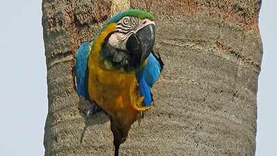 Another highlight: Blue-and-yellow Macaw, by participant Merrill Lester