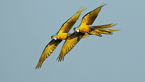 Lovely Blue-and-yellow Macaws in flight, by participant Bill Byers