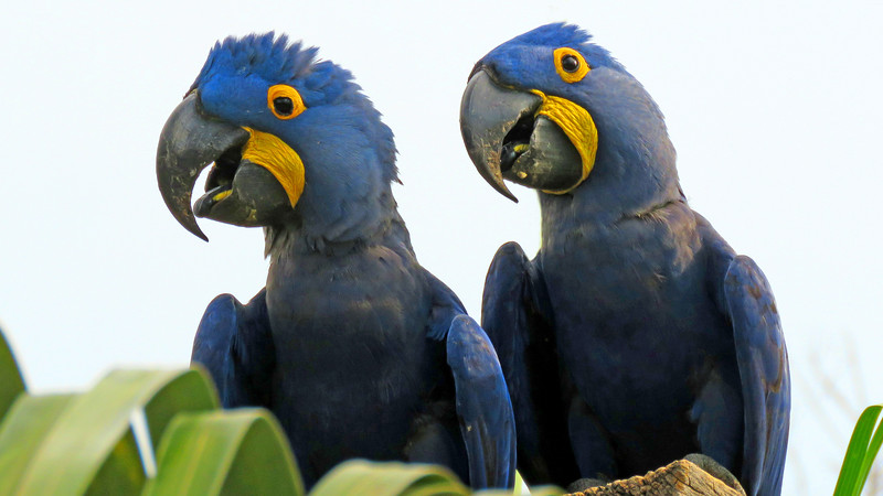 Hyacinth Macaws, fabulous Pantanal highlights, by participant Merrill Lester.