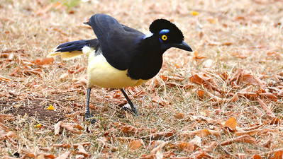 One of the fancier landbirds to see: Plush-crested Jay, by participant Doug Overacker