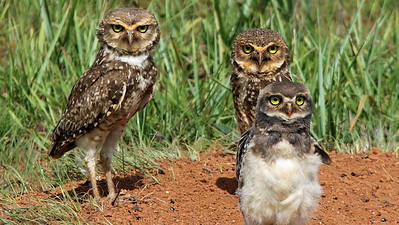 A family group of Burrowing Owls, by participant Bill Parkin