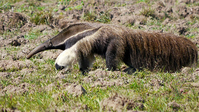 The 7-foot-long Giant Anteater, an amazing creature, by participants David & Judy Smith
