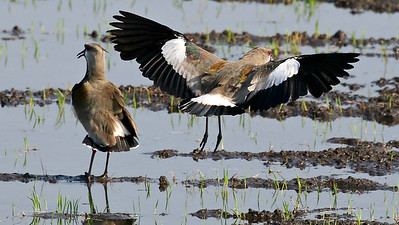 A flashy bird in open areas: Southern Lapwing, by participant Bill Byers