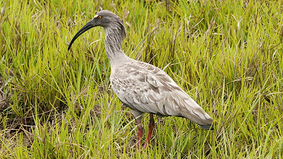 Plumbeous Ibis, large and vocal in the Pantanal, by participants David & Judy Smith