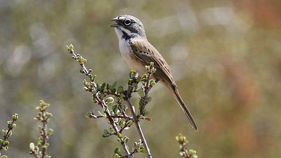 Bell's Sparrow, confined to a narrow range in the West, by guide Chris Benesh