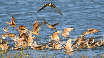A Peregrine Falcon works a flock of godwits and other shorebirds. Photo by guide Chris Benesh.