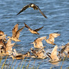 Peregrine Falcon hunting shorebirds, here Marbled Godwits, Willets, and dowitchers, by guide Chris Benesh