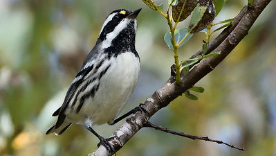 Black-throated Gray Warbler, a passerine beauty we'll see, by participant Doug Clarke