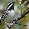 Black-throated Gray Warbler, a passerine beauty, by participant Doug Clarke