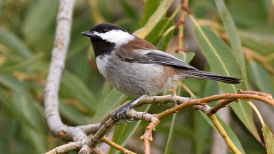 Chestnut-backed Chickadee, by guide Tom Johnson