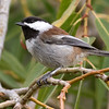 Chestnut-backed Chickadee by guide Tom Johnson