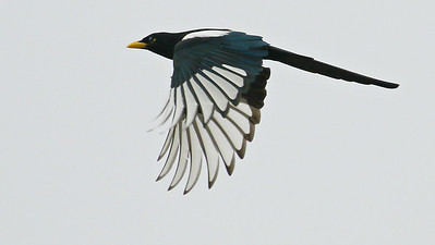 The endemic Yellow-billed Magpie, by guide Chris Benesh