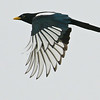 Yellow-billed Magpie, endemic to California, by guide Chris Benesh
