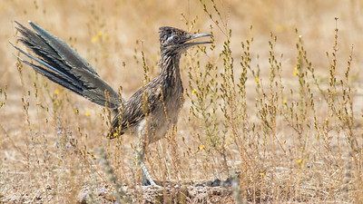 Greater Roadrunner, by guide Tom Johnson