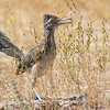 Greater Roadrunner by guide Tom Johnson