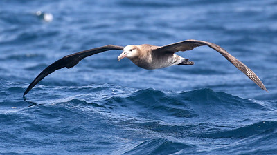 Black-footed Albatross is one of our pelagic targets. Photo by guide Chris Benesh.